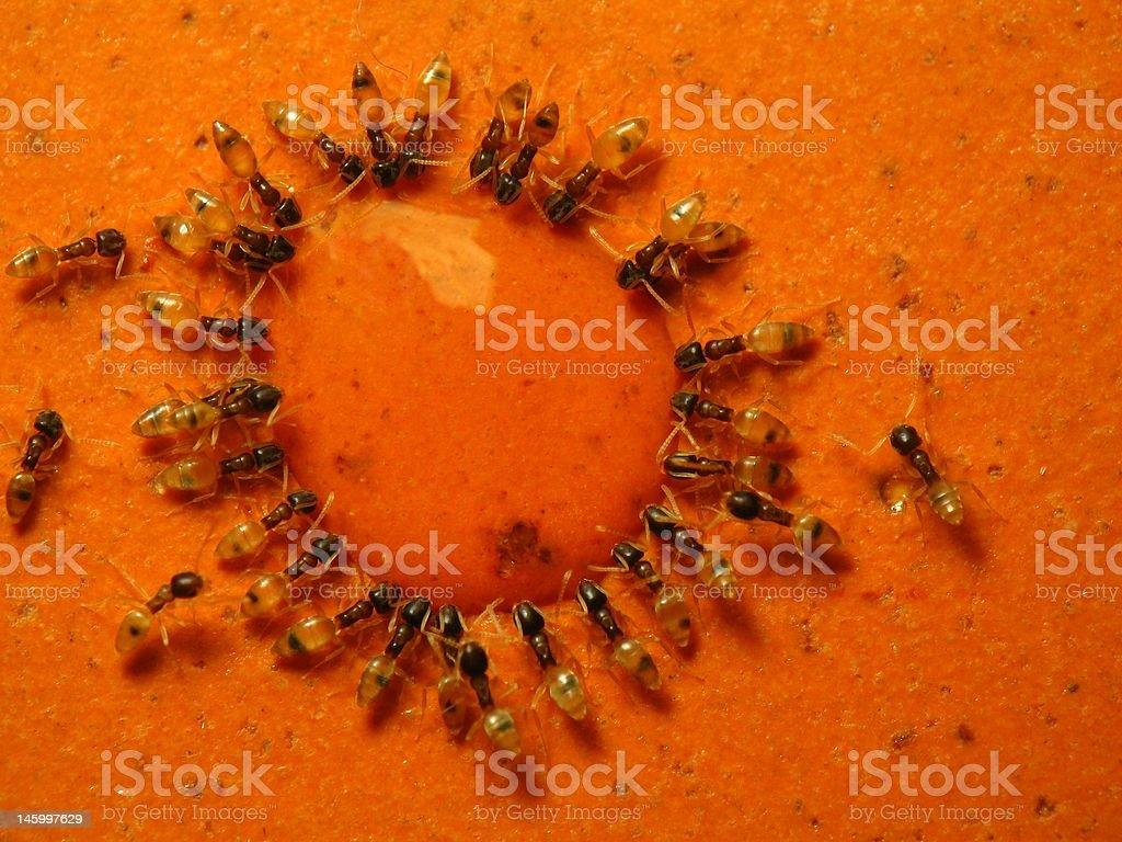 Ants royalty-free stock photo