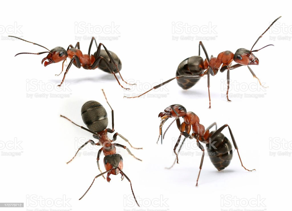 Ameisen – Foto