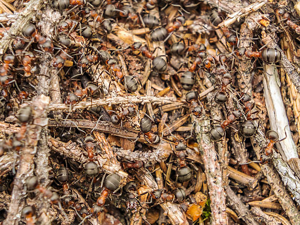 Ants Wood ants in the Bavarian Forest formic acid stock pictures, royalty-free photos & images