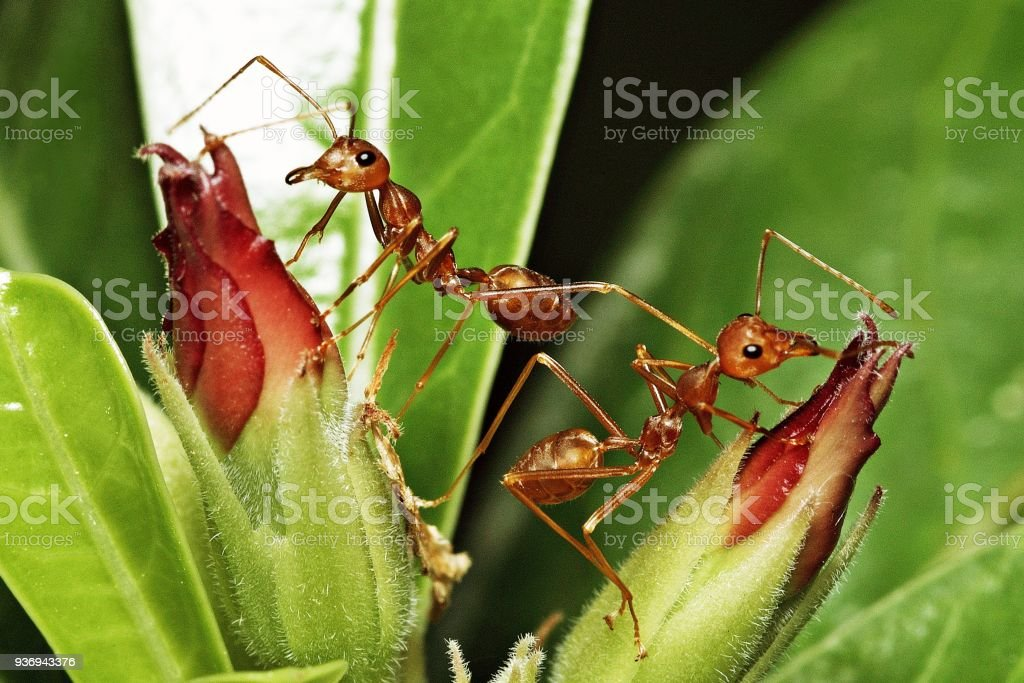 2 ants standing on flower branch. stock photo