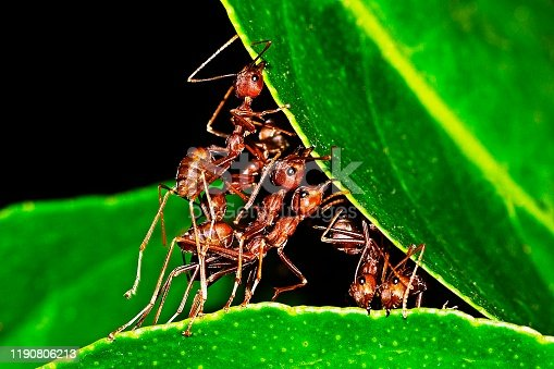 Ants stretching legs , biting leaf , building nest.