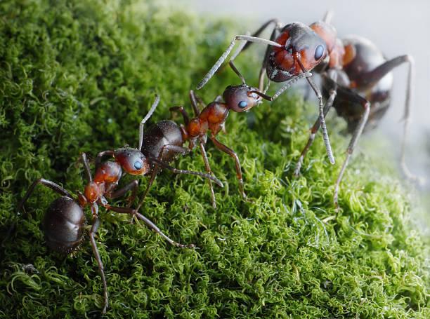 Ameisen senden, Stammesältesten – Foto