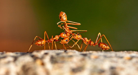 Ants Teamwork On Tree Stock Photo - Download Image Now ... - photo#36