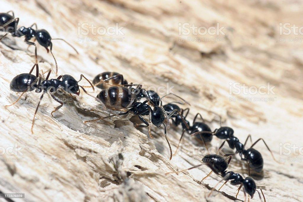 Ants - Teamwork royalty-free stock photo