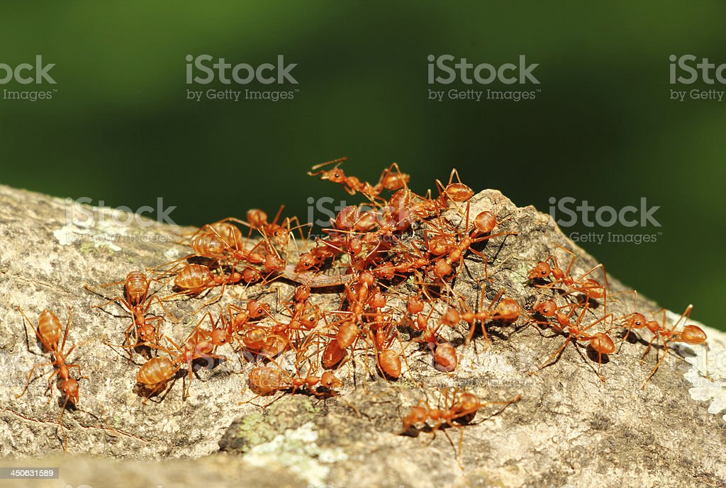Ants' Teamwork stock photo