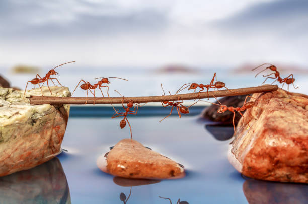 ants trying to cross water, teamwork concept - ants working together stock photos and pictures