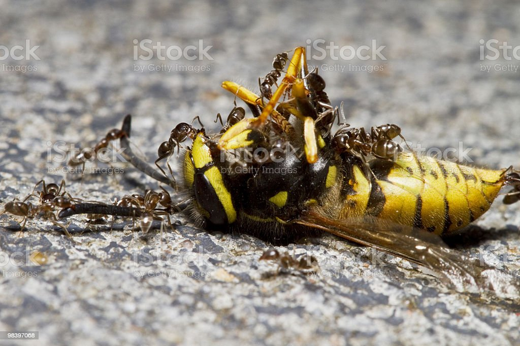Ants & Wasp royalty-free stock photo