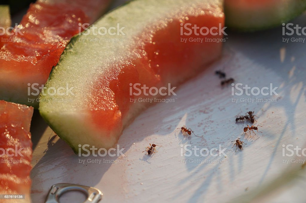 Ants with watermelon stock photo