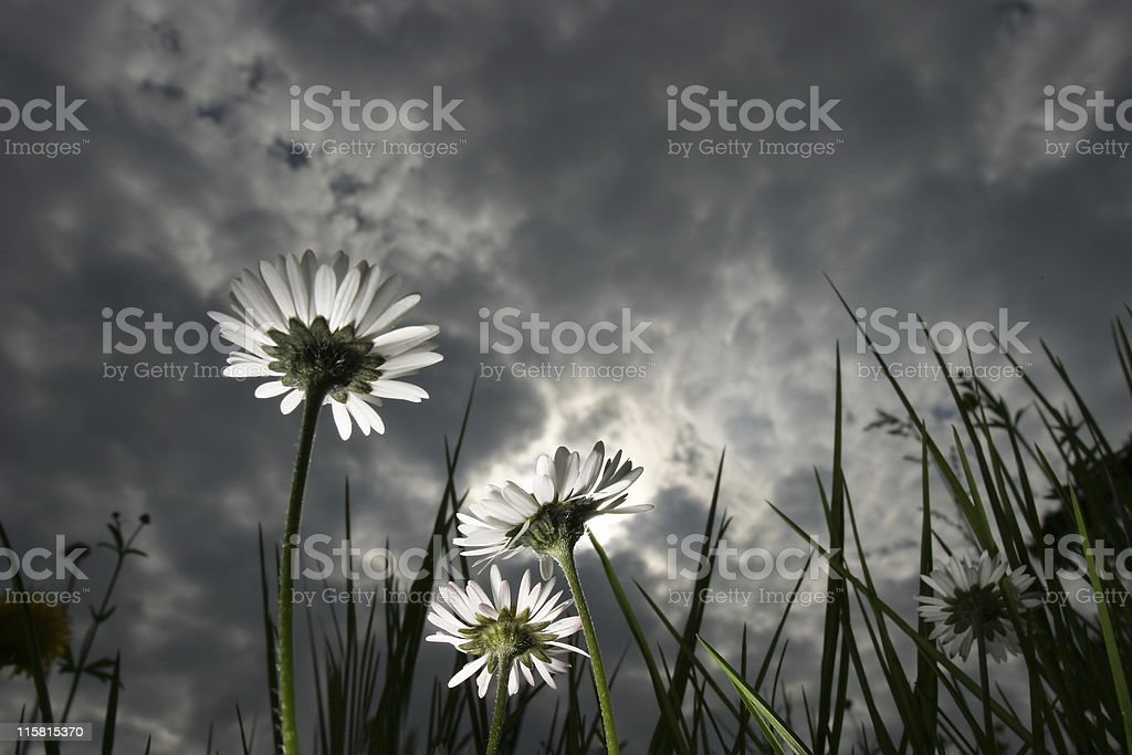 Ant's-eye view of three daisies beneath a dramatic sky stock photo