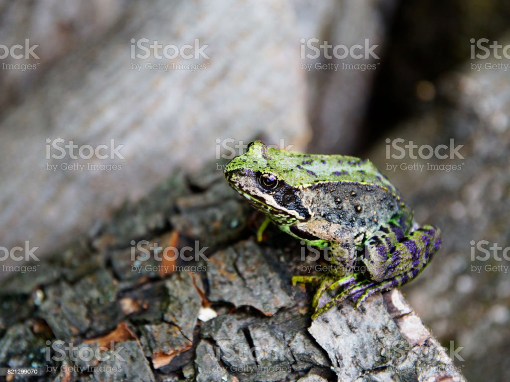 Anuran on the tree close up, macro stock photo