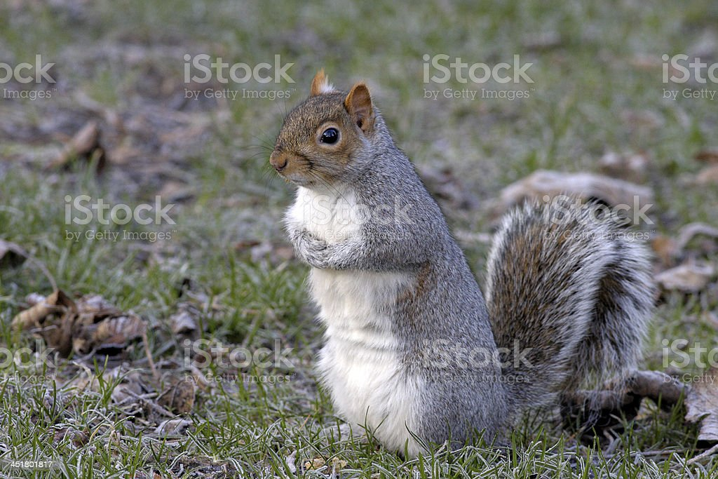 Anxious grey squirrel Sciurus carolinensis sitting on ground royalty-free stock photo