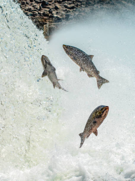 any which way - chinook salmon stock photos and pictures