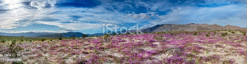 Panorama of spring wildflowers in Anza Borrego Desert State Park, southern California.