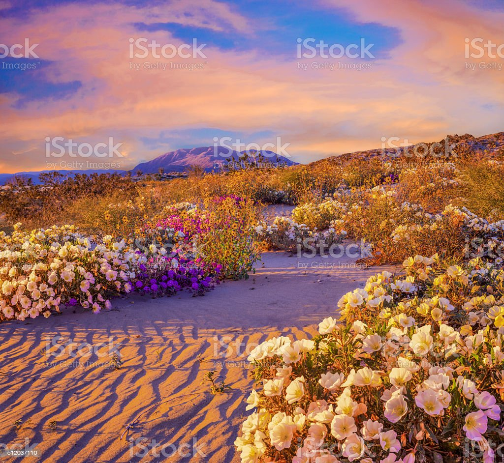 Anza Borrego Desert State Park Wildflowers,CA stock photo