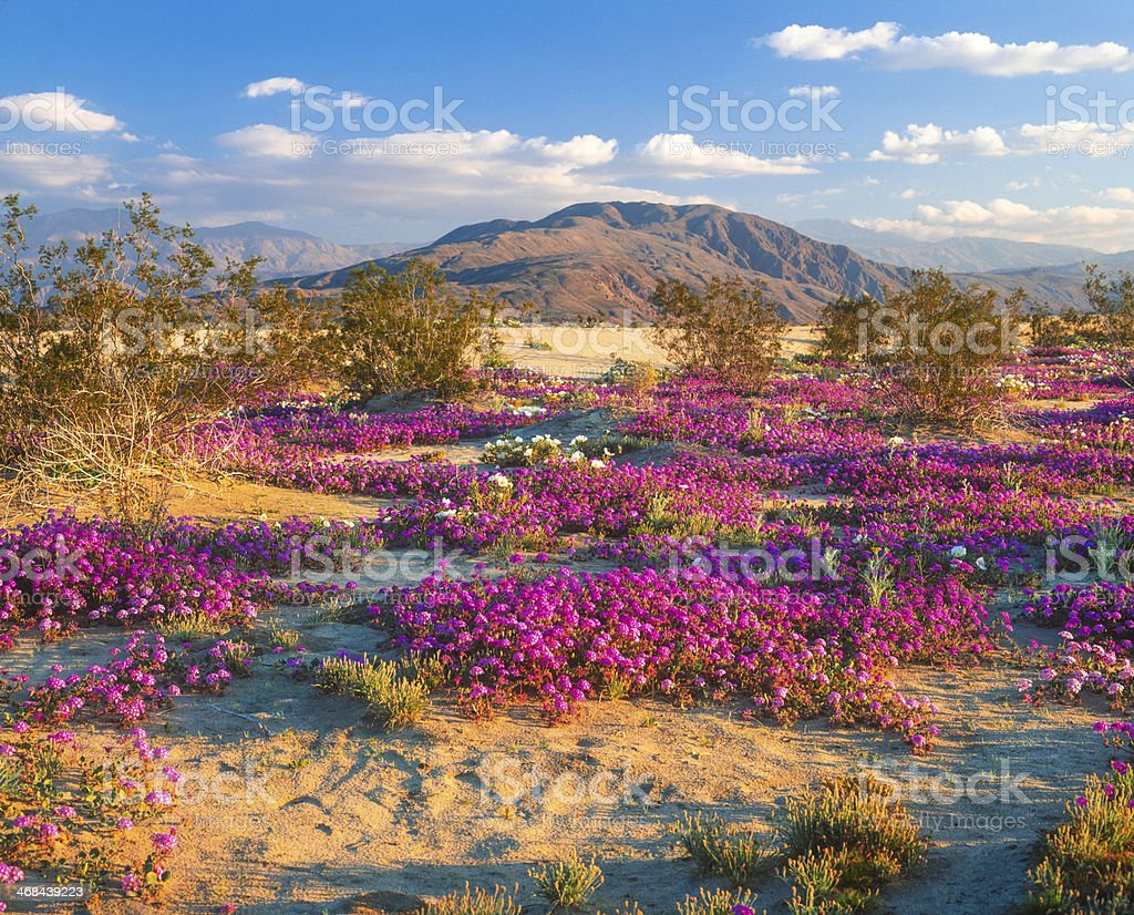 Anza Borrego desert's beautiful spring flowers in pink stock photo