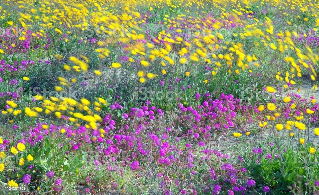 Anza Borrego Wildflowers stock photo