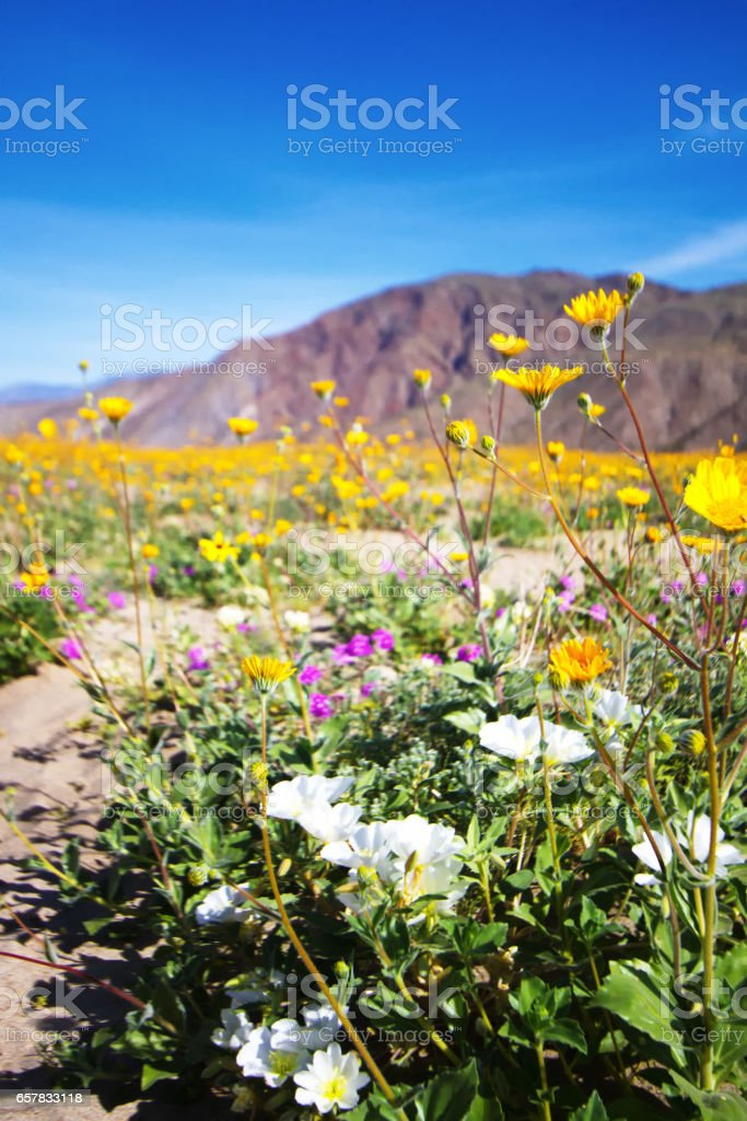Anza-Borrego State Park: Wildflower Desert Bloom stock photo