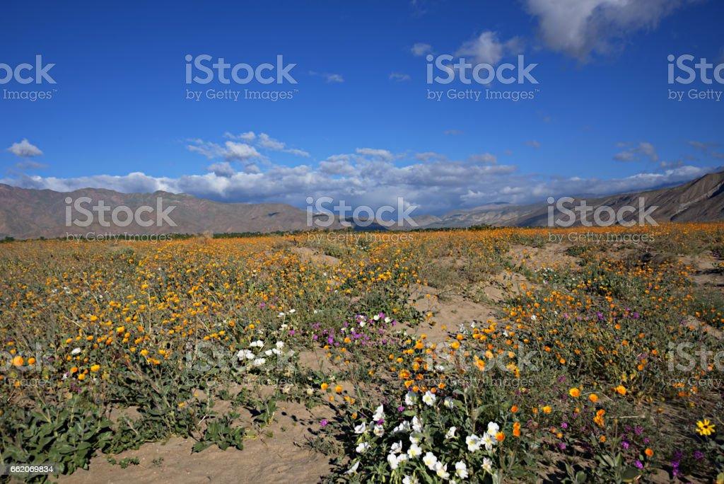 Anza-Borrego Wildflowers J royalty-free stock photo