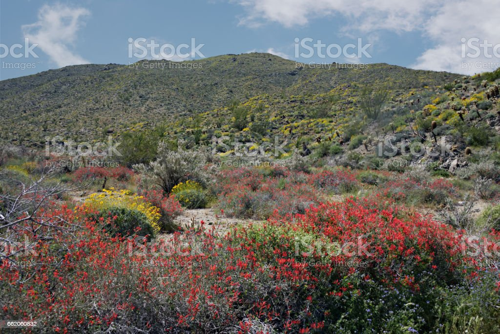 Anza-Borrego Wildflowers V royalty-free stock photo