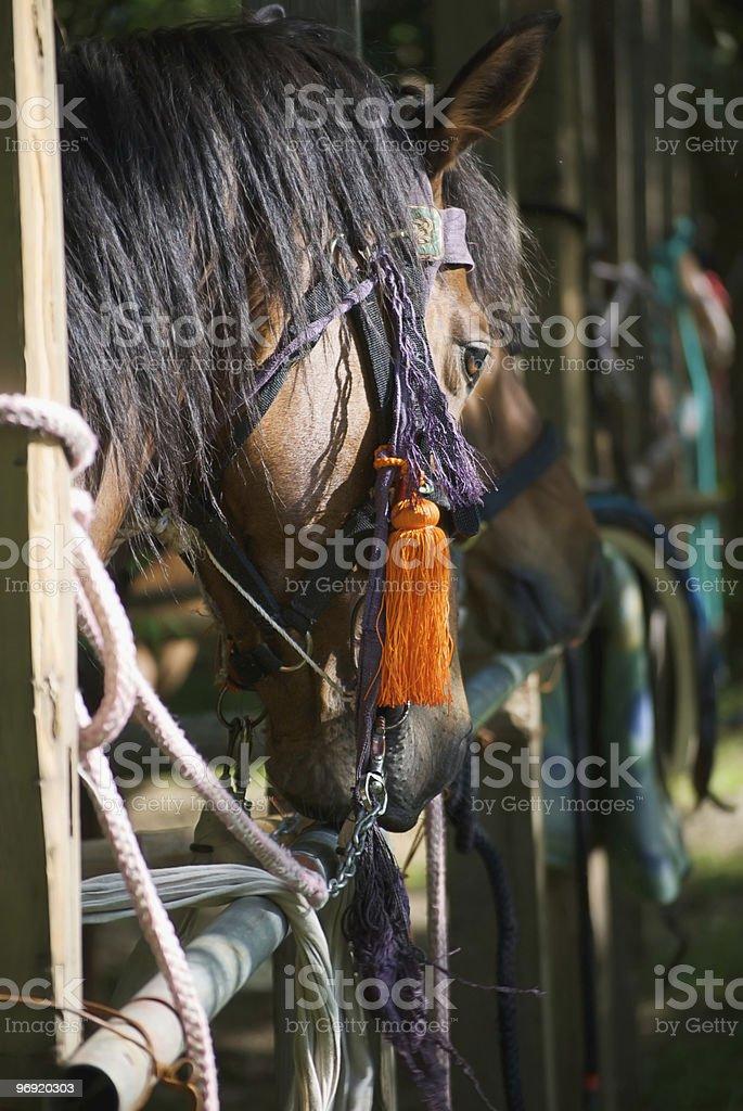 Aoi Matsuri Horse Closeup royalty-free stock photo