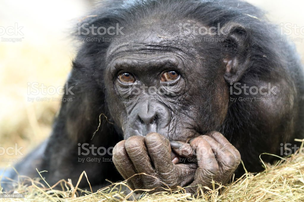 Portrait de Aorable Bonobo - Photo