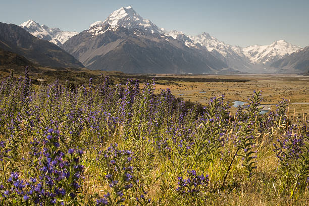 Aoraki/Mt Cook with wildflowrs Mt Cook or Aoraki, New Zealand in summer, with wildflowers in the foreground. apostrophe stock pictures, royalty-free photos & images