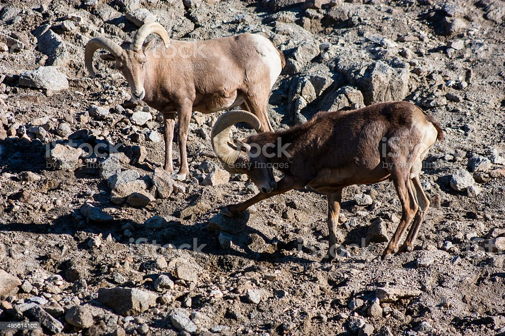 Aoudad Barbary Sheep Out of Africa Wildlife Park stock photo