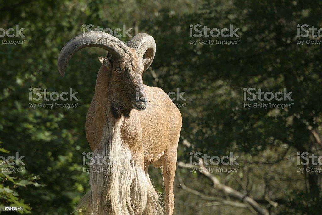 Aoudad  Barbary Sheep royalty-free stock photo