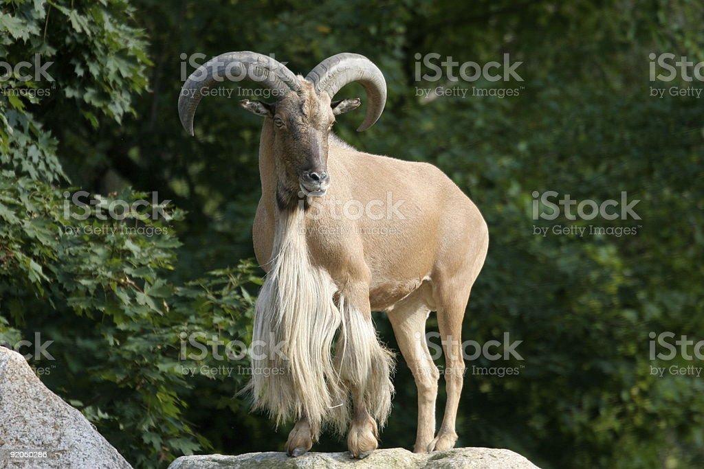 Aoudad Barbary Sheep stock photo