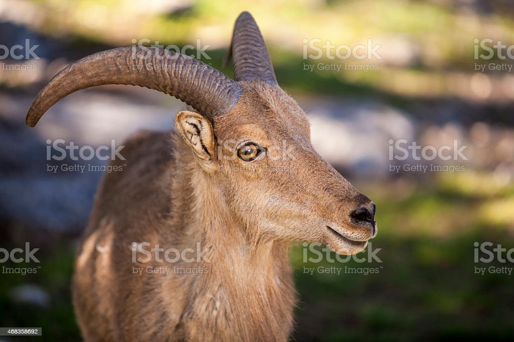 Aoudad of Fossil Rim Wildlife Center royalty-free stock photo