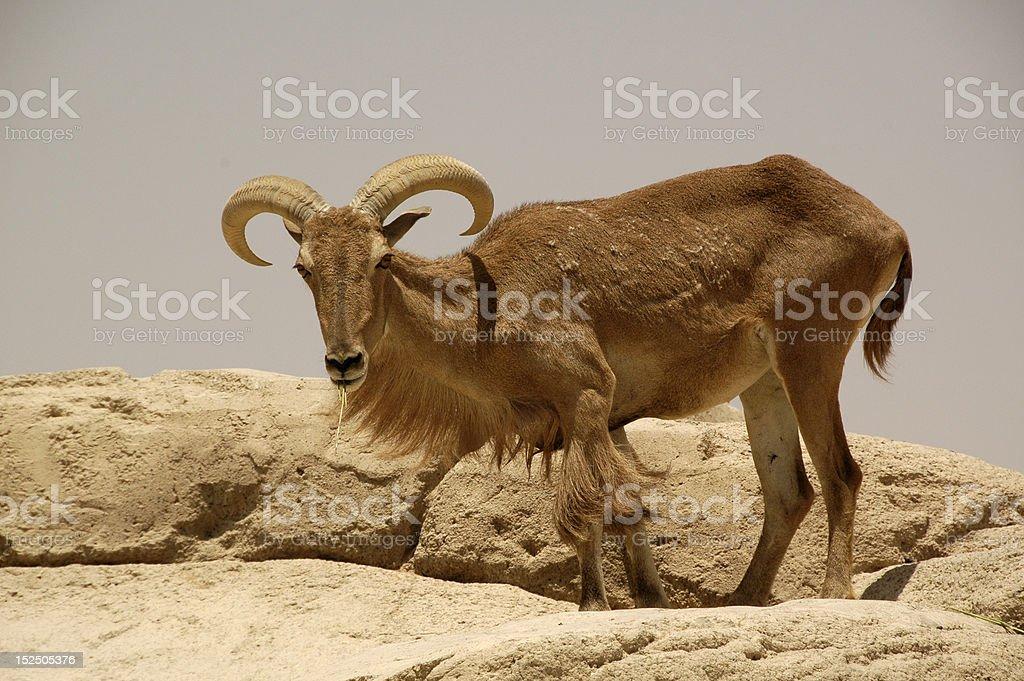 Aoudad  (Ammotragus lervia) stock photo