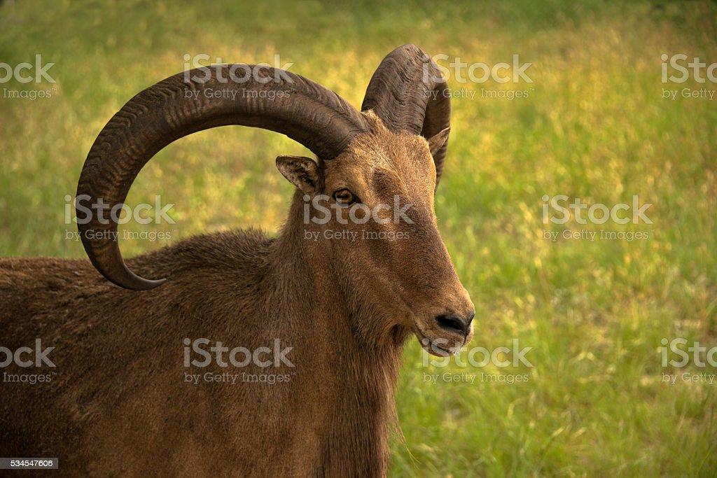 Aoudad ram sheep are also called Barbary sheep stock photo