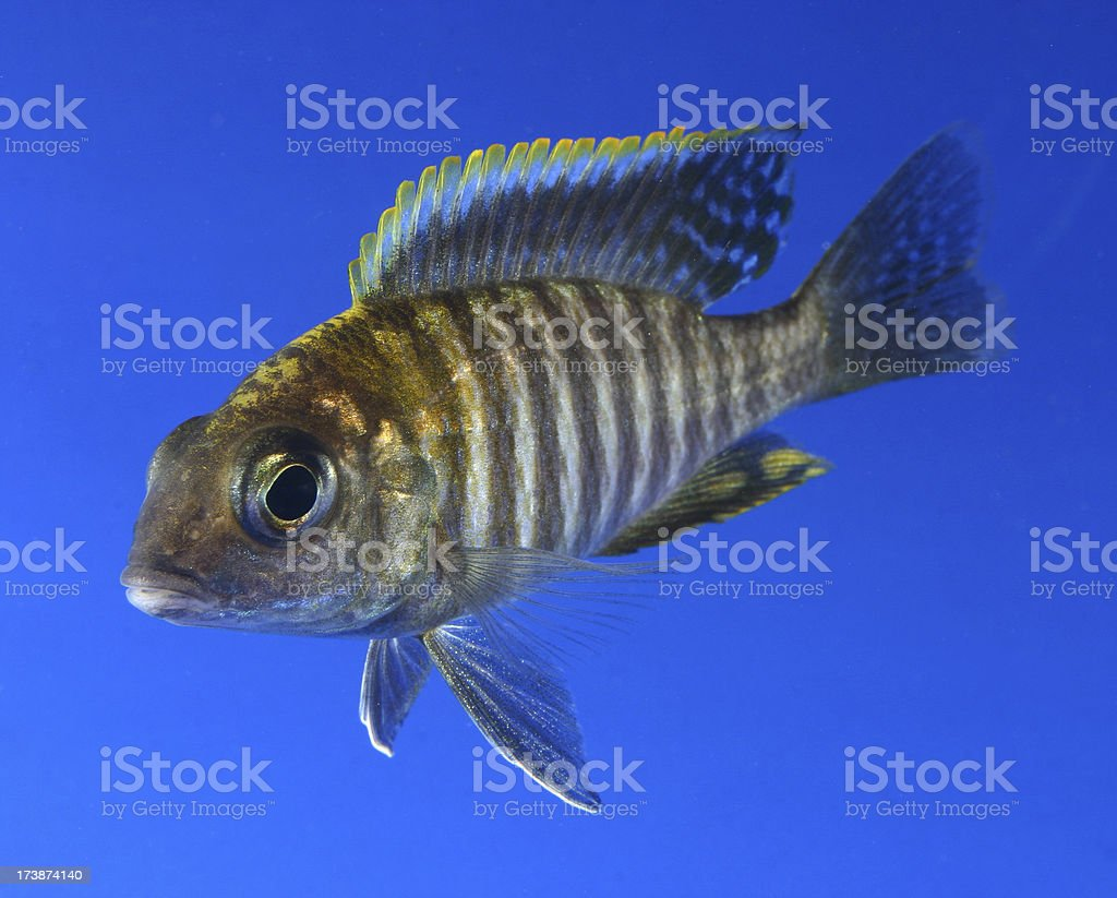 Apache cichlid stock photo