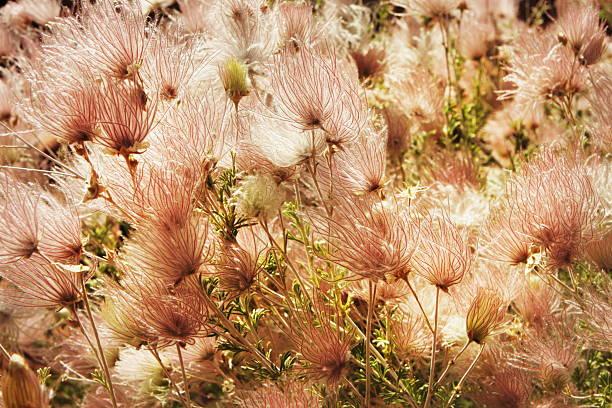 apache plume fallugia paradoxa-rauch plant - perückenstrauch stock-fotos und bilder