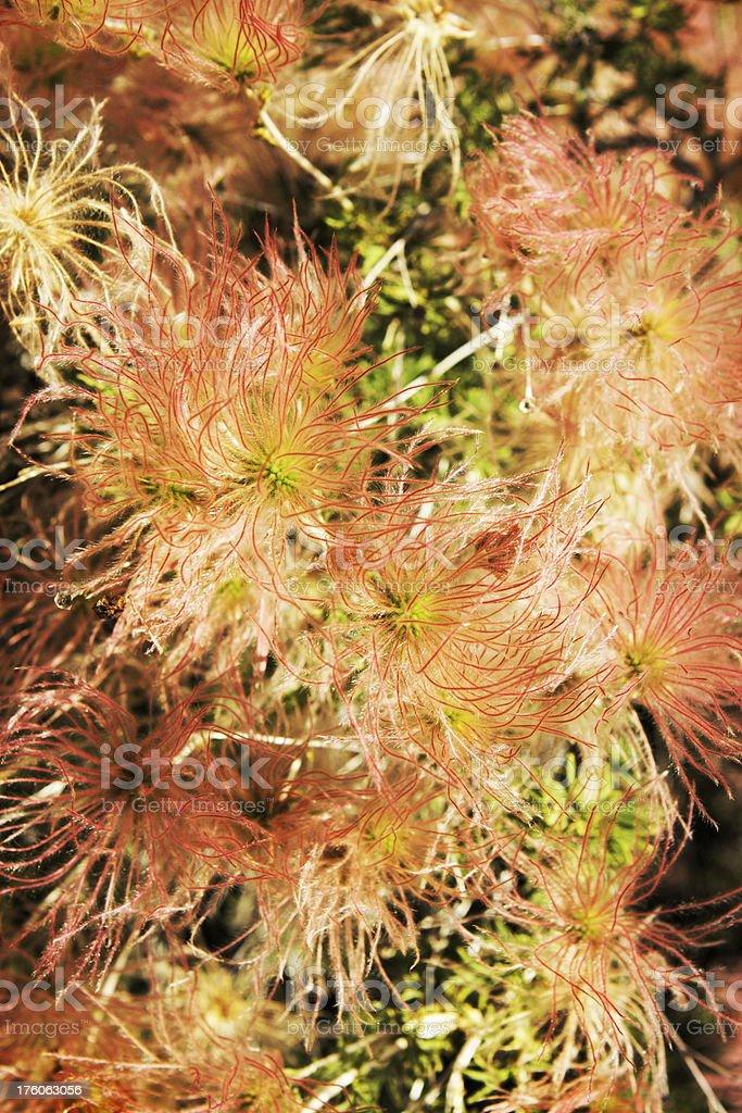 Fallugia Paradoxa Leaves