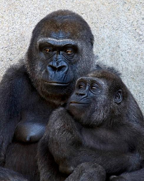 menschenaffe mutter und kind - gorilla brot stock-fotos und bilder
