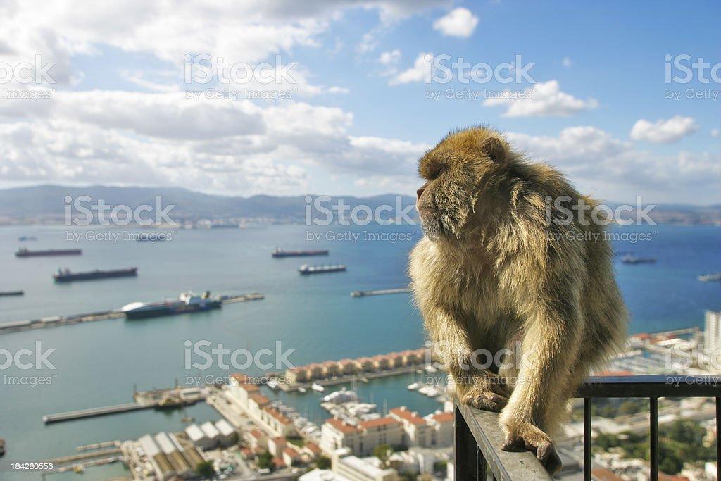 Ape of gibraltar royalty-free stock photo