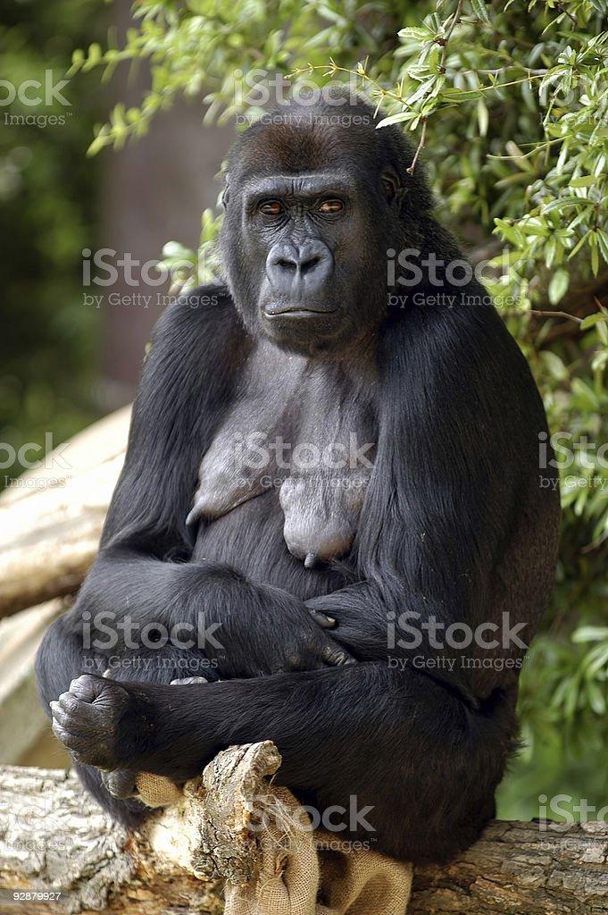 Ape royalty-free stock photo