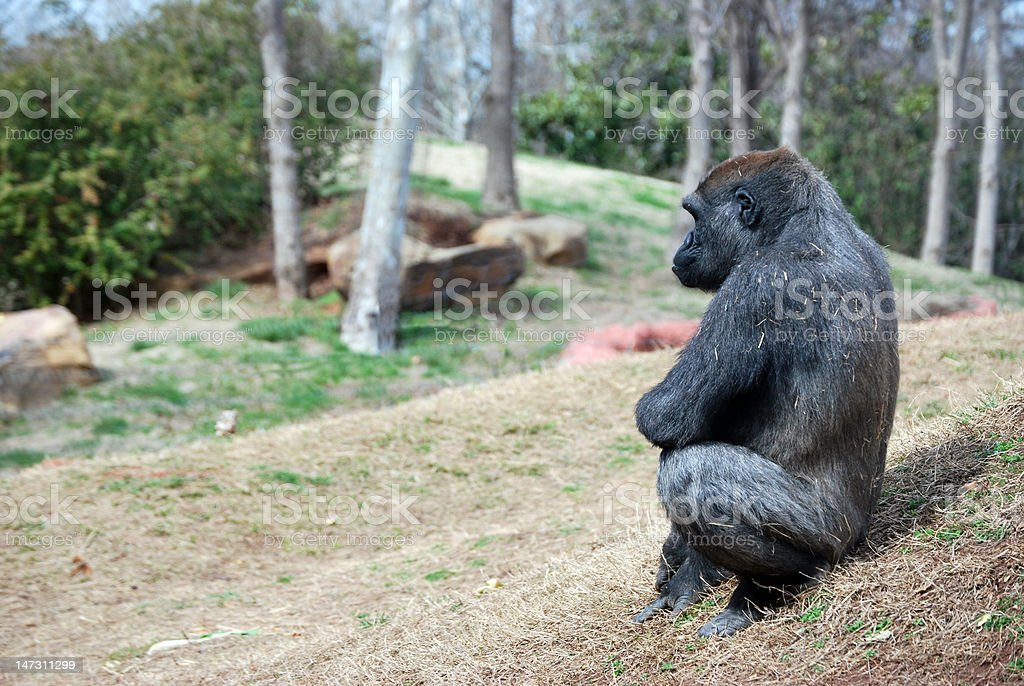 Ape Sitting On Rocks Royalty Free Stock Photo
