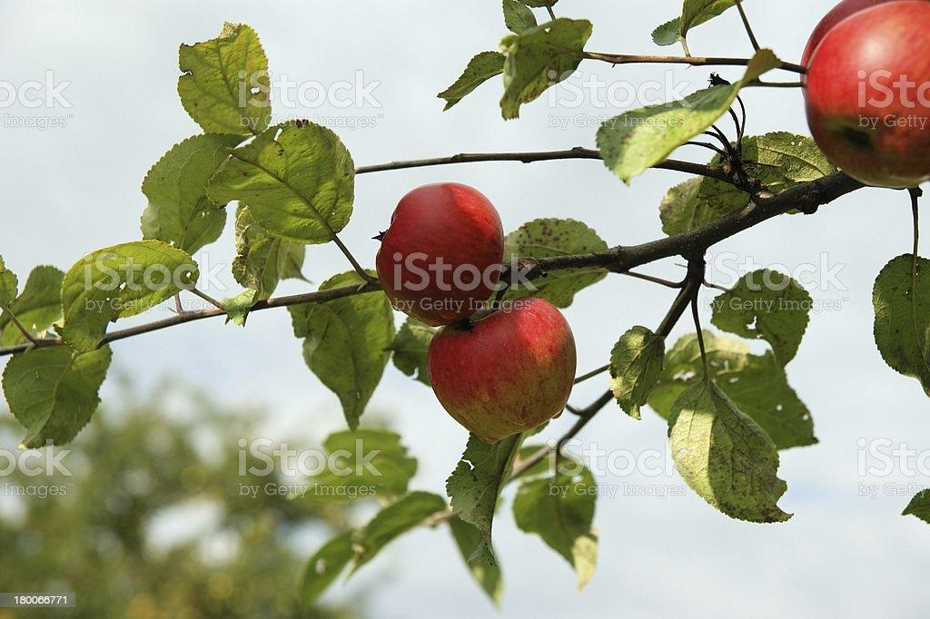 Apfelbaum. Aplletree. royalty-free stock photo