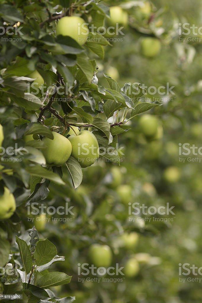 Apfelbaum royalty-free stock photo