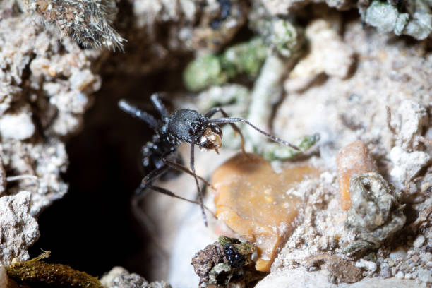 Aphaenogaster spinosa bewegender Fels – Foto