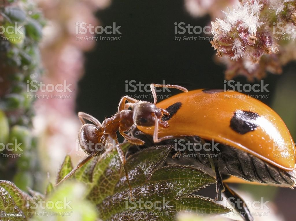 Aphid farming Ant attacking marauding ladybird royalty-free stock photo