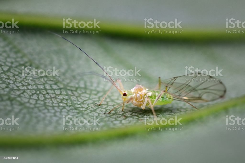 Aphid feeding on a Sycamore leaf stock photo