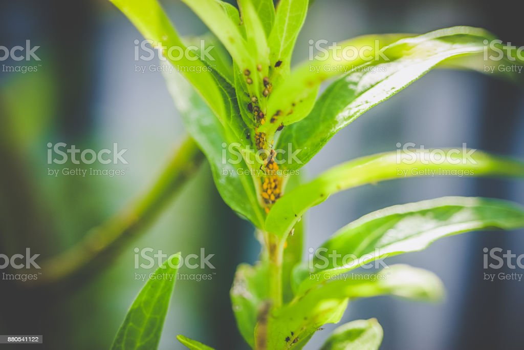 Aphid Infestation stock photo