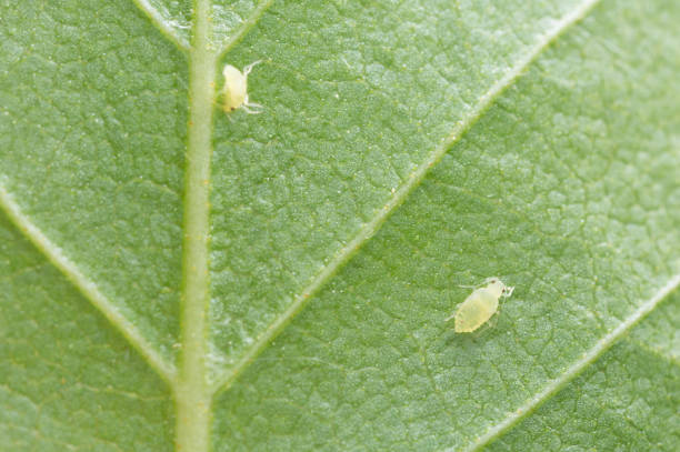 Aphid on leaf Aphid on leaf photographed with high magnification. aphid stock pictures, royalty-free photos & images