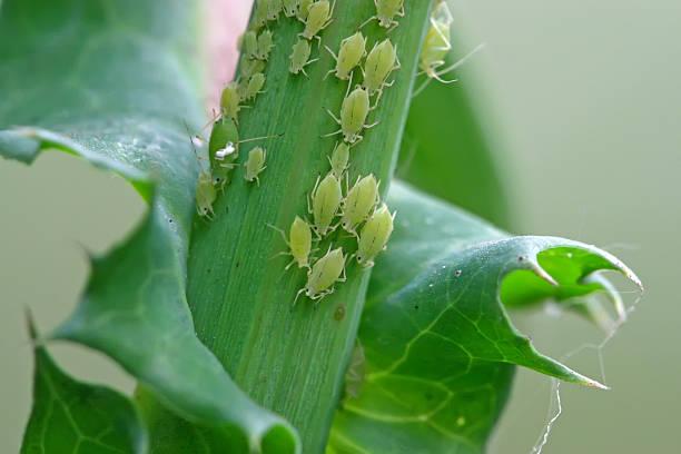 Blattlaus auf die Grüne Pflanze – Foto