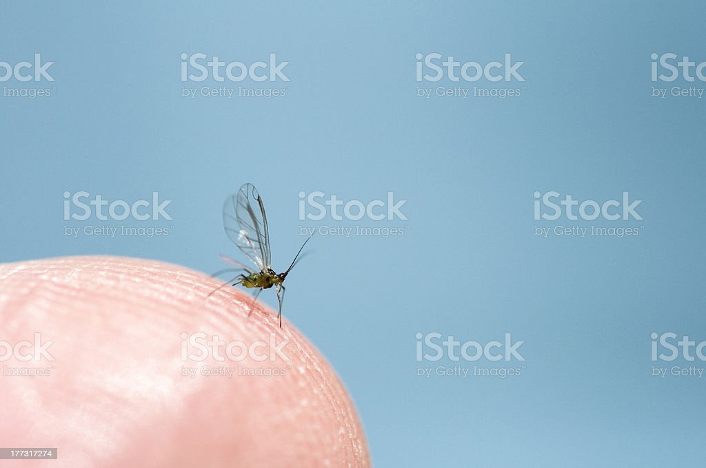 Aphid. royalty-free stock photo