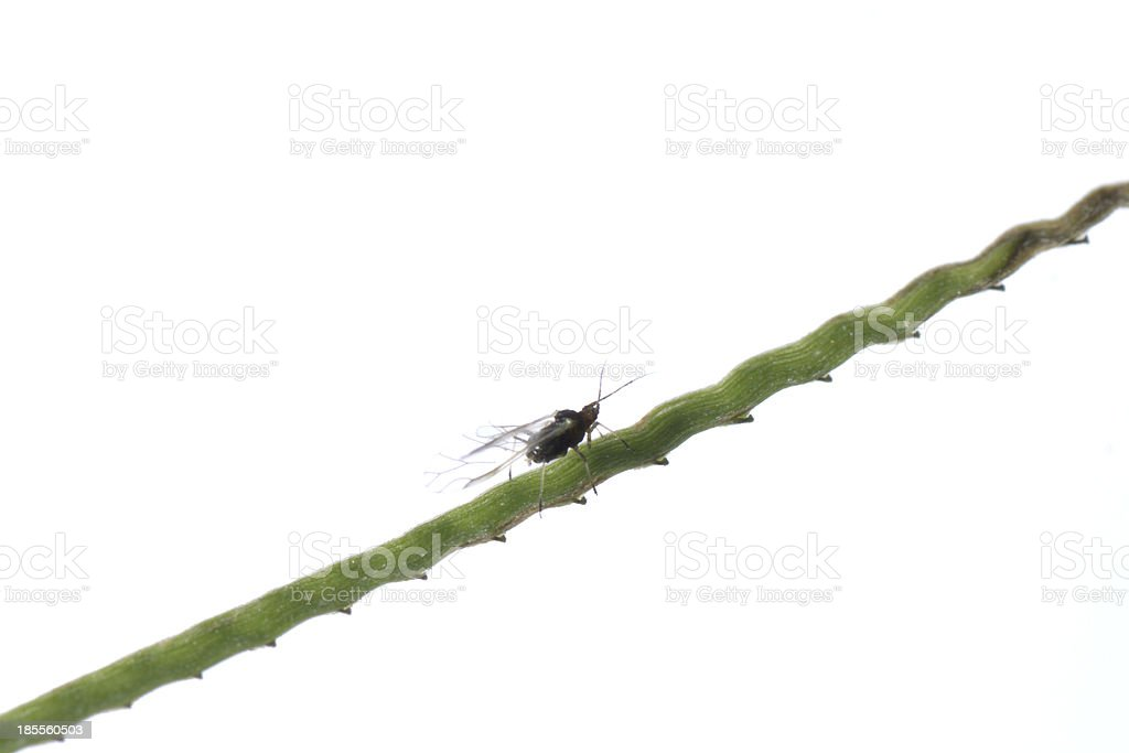 aphid stock photo