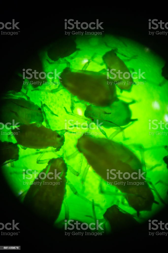aphid view in microscopy royalty-free stock photo
